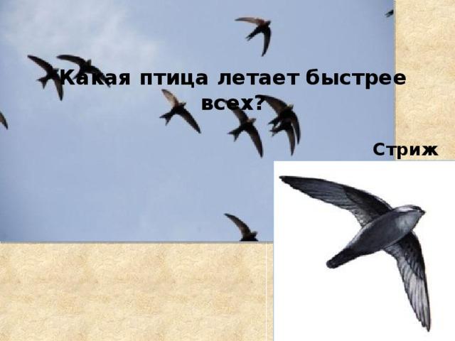 Какая птица летает быстрее всех? Стриж