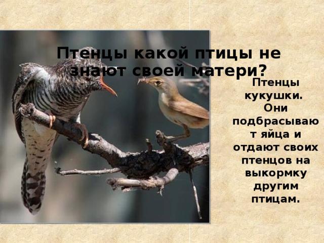 Птенцы какой птицы не знают своей матери? Птенцы кукушки. Они подбрасывают яйца и отдают своих птенцов на выкормку другим птицам.