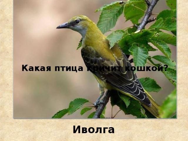 Какая птица кричит кошкой? Иволга