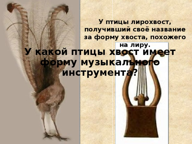 У птицы лирохвост, получивший своё название за форму хвоста, похожего на лиру. У какой птицы хвост имеет форму музыкального инструмента?