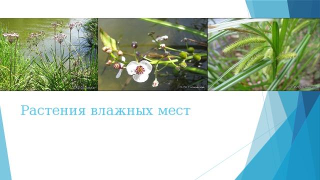 Картинки растения влажных мест