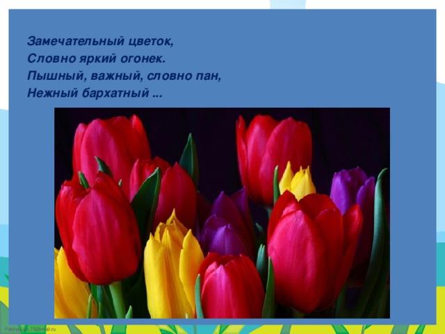 Замечательный цветок, Словно яркий огонек. Пышный, важный, словно пан, Нежный бархатный ...