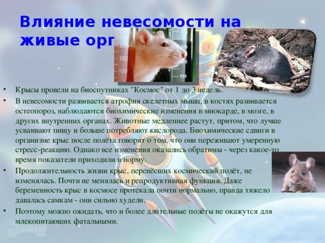 Влияние невесомости на живые организмы Крысы провели на биоспутниках
