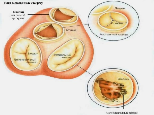 Анатомия сердце видео уроки
