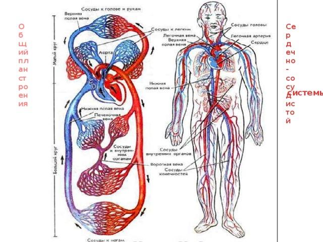 Общий план строения Сердечно-сосудистой  системы