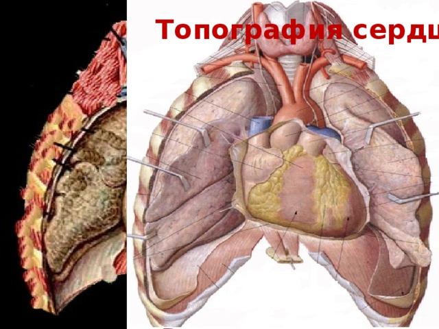 Топография сердца