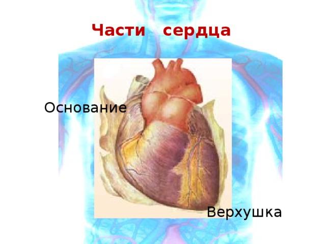 Части сердца Основание  Верхушка