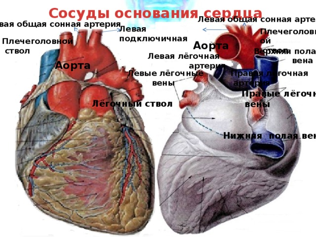 Сосуды основания сердца Левая общая сонная артерия Левая общая сонная артерия Левая подключичная Плечеголовной  ствол Плечеголовной  ствол Аорта Верхняя полая  вена Левая лёгочная  артерия Аорта Левые лёгочные Правая лёгочная  вены  артерия Правые лёгочные  вены Лёгочный ствол Нижняя полая вена