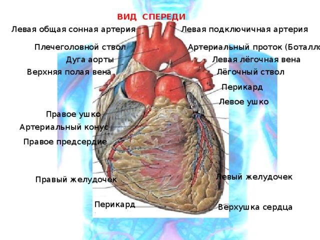 ВИД СПЕРЕДИ Левая подключичная артерия Левая общая сонная артерия Плечеголовной ствол Артериальный проток (Боталлов) Дуга аорты Левая лёгочная вена Верхняя полая вена Лёгочный ствол Перикард Левое ушко Правое ушко Артериальный конус Правое предсердие Левый желудочек Правый желудочек Перикард Верхушка сердца