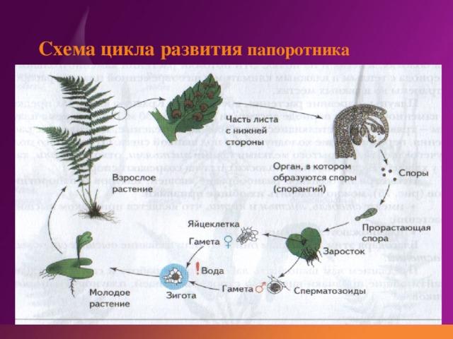 моделях цикл развития папоротника схема с набором хромосом настоящее время