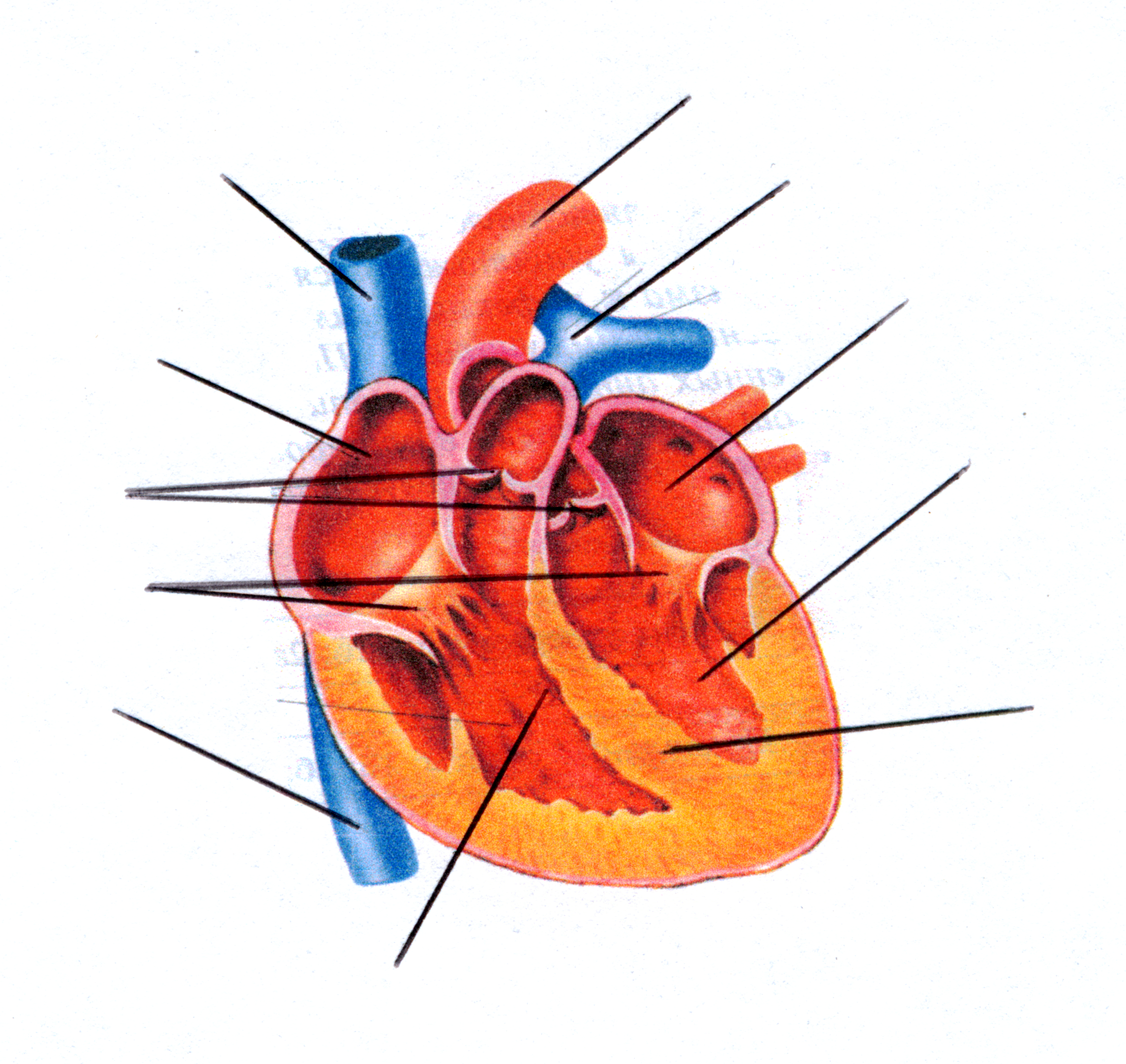 Сердце на картинке человеческое строение