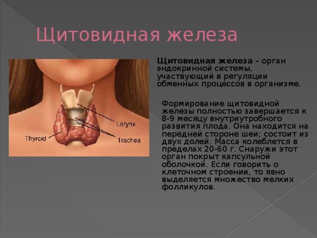того щитовидная железа картинка где находится красивые крымские