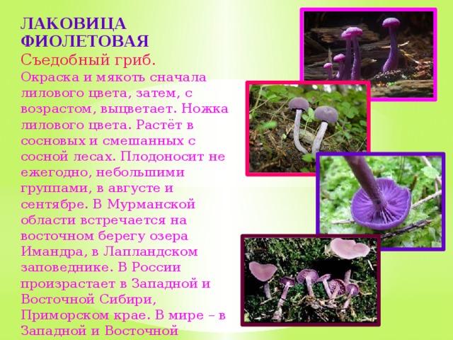 грибы растущие в мурманской области