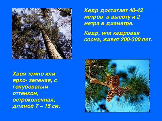 Доклад о дереве кедр 8936