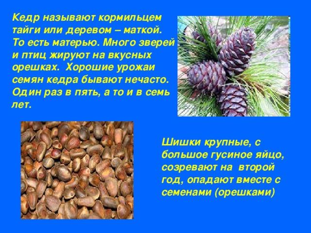 Доклад о дереве кедр 3823