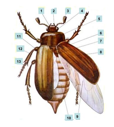 картинки части к майскому жуку нужно