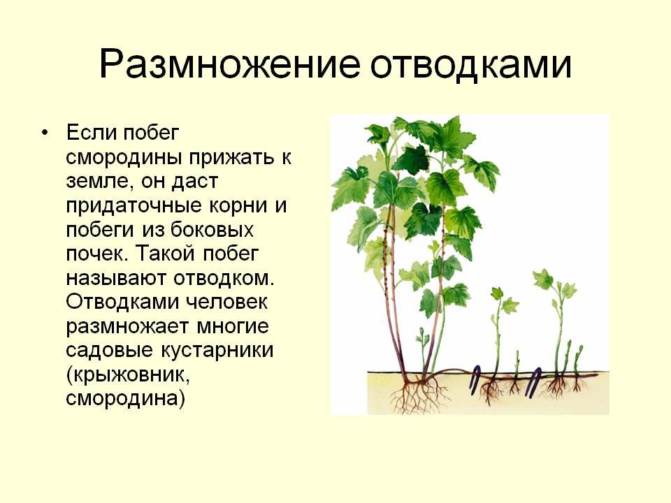 размножение смородины в картинках и борьба с ними камень