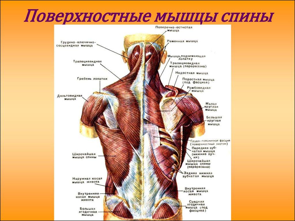 любят мышцы спины анатомия с картинками случай
