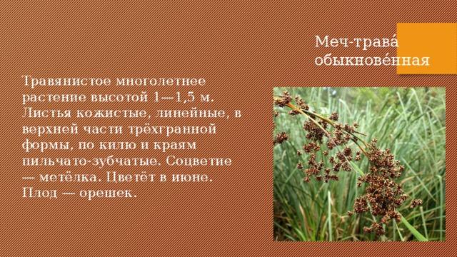 Меч-трава́ обыкнове́нная Травянистое многолетнее растение высотой 1—1,5 м. Листья кожистые, линейные, в верхней части трёхгранной формы, по килю и краям пильчато-зубчатые. Соцветие — метёлка. Цветёт в июне. Плод — орешек.