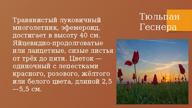 Тюльпан Геснера Травянистый луковичный многолетник, эфемероид, достигает в высоту 40 см. Яйцевидно-продолговатые или ланцетные, сизые листья от трёх до пяти. Цветок — одиночный с лепестками красного, розового, жёлтого или белого цвета, длиной 2,5—5,5 см.