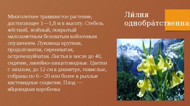 Ли́лия однобра́тственная Многолетнее травянистое растение, достигающее 1—1,8 м в высоту. Стебель жёсткий, зелёный, покрытый малозаметным беловатым войлочным опушением. Луковица крупная, продолговатая, сиреневатая, острочешуйчатая. Листья в числе до 40, сидячие, линейно-ланцетовидные. Цветки с запахом, до 12 см в диаметре, повислые, собраны по 6—20 или более в рыхлые кистевидные соцветия. Плод — яйцевидная коробочка