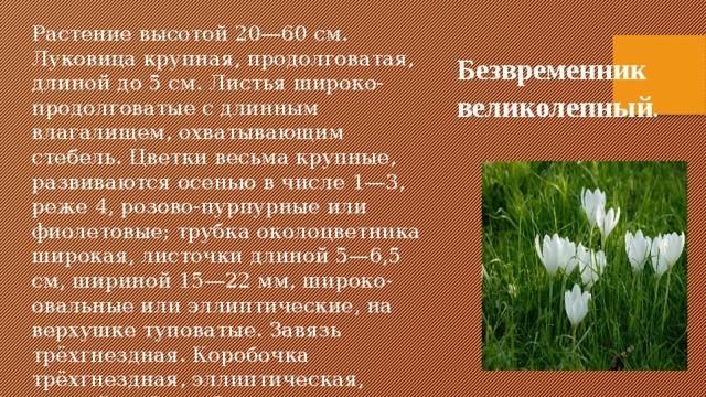 Растение высотой 20—60 см. Луковица крупная, продолговатая, длиной до 5 см. Листья широко-продолговатые с длинным влагалищем, охватывающим стебель. Цветки весьма крупные, развиваются осенью в числе 1—3, реже 4, розово-пурпурные или фиолетовые; трубка околоцветника широкая, листочки длиной 5—6,5 см, шириной 15—22 мм, широко-овальные или эллиптические, на верхушке туповатые. Завязь трёхгнездная. Коробочка трёхгнездная, эллиптическая, длиной до 3 см. Семена округлые, коричневые, диаметром до 2—3 мм. Безвременник великолепный .