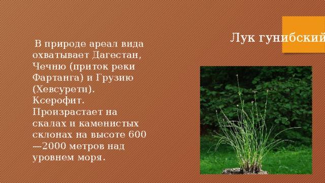 Лук гунибский  В природе ареал вида охватывает Дагестан, Чечню (приток реки Фартанга) и Грузию (Хевсурети). Ксерофит. Произрастает на скалах и каменистых склонах на высоте 600—2000 метров над уровнем моря.