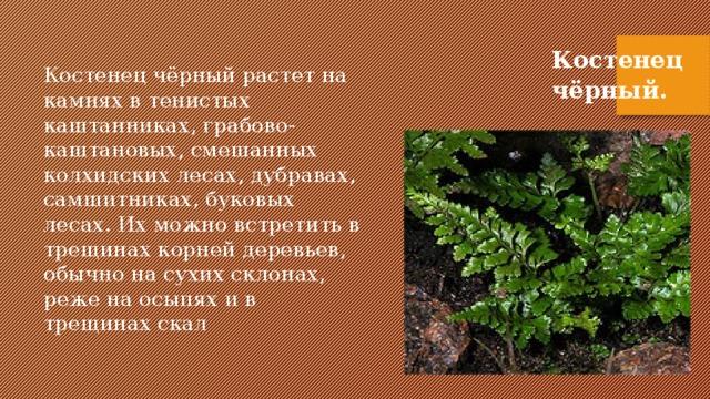 Костенец чёрный. Костенец чёрный растет на камнях в тенистых каштанниках, грабово-каштановых, смешанных колхидских лесах, дубравах, самшитниках, буковых лесах. Их можно встретить в трещинах корней деревьев, обычно на сухих склонах, реже на осыпях и в трещинах скал .
