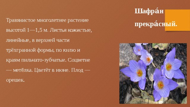 Шафра́н прекра́сный. Травянистое многолетнее растение высотой 1—1,5 м. Листья кожистые, линейные, в верхней части трёхгранной формы, по килю и краям пильчато-зубчатые. Соцветие — метёлка. Цветёт в июне. Плод — орешек.