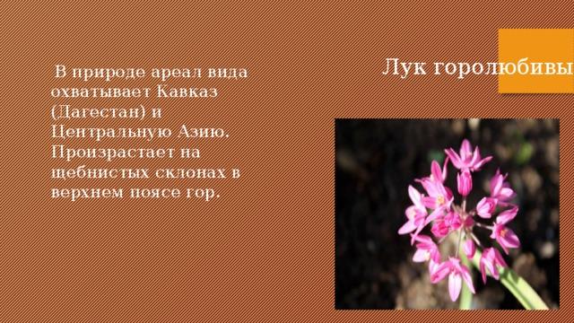 Лук горолюбивый  В природе ареал вида охватывает Кавказ (Дагестан) и Центральную Азию. Произрастает на щебнистых склонах в верхнем поясе гор.