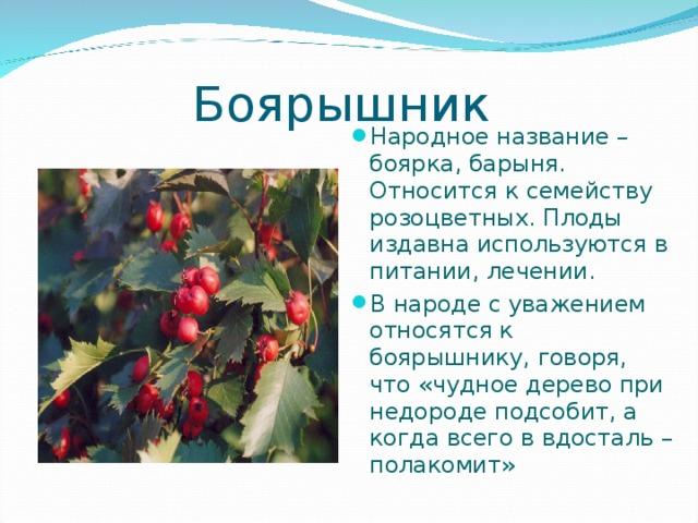 Боярышник Народное название – боярка, барыня. Относится к семейству розоцветных. Плоды издавна используются в питании, лечении. В народе с уважением относятся к боярышнику, говоря, что «чудное дерево при недороде подсобит, а когда всего в вдосталь – полакомит»