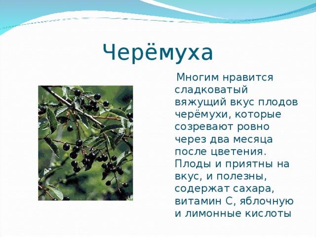 Черёмуха  Многим нравится сладковатый вяжущий вкус плодов черёмухи, которые созревают ровно через два месяца после цветения. Плоды и приятны на вкус, и полезны, содержат сахара, витамин С, яблочную и лимонные кислоты