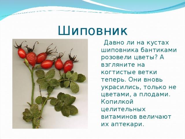 Шиповник  Давно ли на кустах шиповника бантиками розовели цветы? А взгляните на когтистые ветки теперь. Они вновь украсились, только не цветами, а плодами. Копилкой целительных витаминов величают их аптекари.