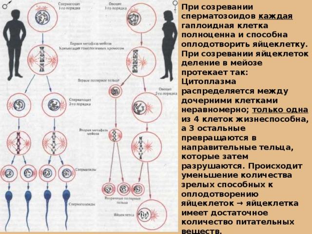 При созревании сперматозоидов каждая гаплоидная клетка полноценна и способна оплодотворить яйцеклетку. При созревании яйцеклеток деление в мейозе протекает так: Цитоплазма распределяется между дочерними клетками неравномерно; только одна из 4 клеток жизнеспособна, а 3 остальные превращаются в направительные тельца, которые затем разрушаются. Происходит уменьшение количества зрелых способных к оплодотворению яйцеклеток → яйцеклетка имеет достаточное количество питательных веществ.