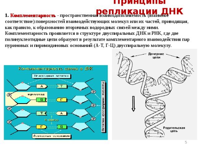 Принципы репликации ДНК 1.  Комплементарность  -  пространственная взаимодополняемость (взаимное соответствие) поверхностей взаимодействующих молекул или их частей, приводящая, как правило, к образованию вторичных водородных связей между ними. Комплементарность проявляется в структуре двуспиральных ДНК и РНК, где две полинуклеотидные цепи образуют в результате комплементарного взаимодействия пар пуриновых и пиримидиновых оснований (А-Т, Г-Ц) двуспиральную молекулу.
