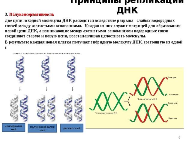 Принципы репликации ДНК 3. Полуконсервативность Две цепи исходной молекулы ДНК расходятся вследствие разрыва слабых водородных связей между азотистыми основаниями. Каждая из них служит матрицей для образования новой цепи ДНК, а возникающие между азотистыми основаниями водородные связи соединяют старую и новую цепи, восстанавливая целостность молекулы. В результате каждая новая клетка получает гибридную молекулу ДНК, состоящую из одной старой и одной новой цепи.   консервативный дисперсный полуконсервативный