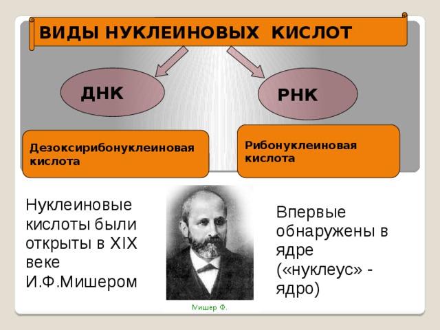 ВИДЫ НУКЛЕИНОВЫХ КИСЛОТ РНК ДНК Рибонуклеиновая кислота Дезоксирибонуклеиновая кислота Нуклеиновые кислоты были открыты в XIX веке И.Ф.Мишером Впервые обнаружены в ядре («нуклеус» - ядро)