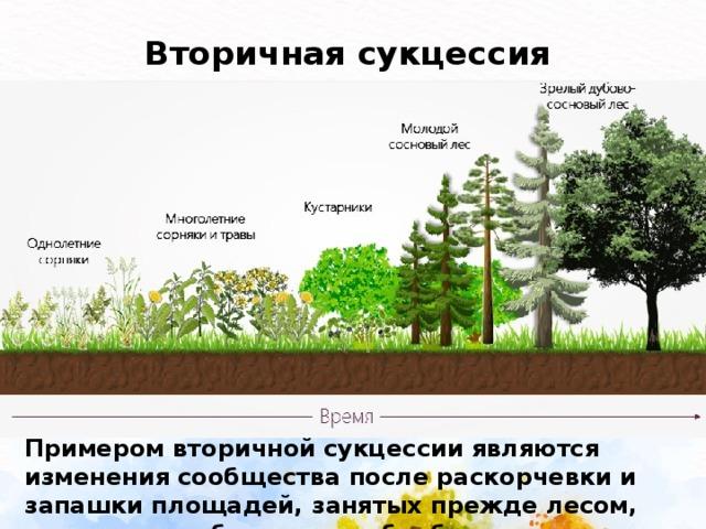 Вторичная сукцессия  Примером вторичной сукцессии являются изменения сообщества после раскорчевки и запашки площадей, занятых прежде лесом, если участок больше не обрабатывается