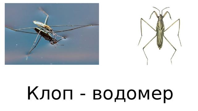 Клоп - водомер