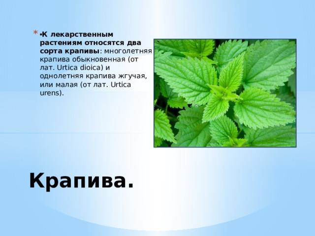• К лекарственным растениям относятся два сорта крапивы : многолетняя крапива обыкновенная (от лат. Urtica dioica) и однолетняя крапива жгучая, или малая (от лат. Urtica urens). Крапива.