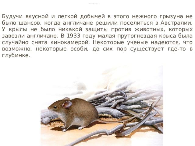 Малая прутогнездая крыса Будучи вкусной и легкой добычей в этого нежного грызуна не было шансов, когда англичане решили поселиться в Австралии. У крысы не было никакой защиты против животных, которых завезли англичане. В 1933 году малая прутогнездая крыса была случайно снята кинокамерой. Некоторые ученые надеются, что возможно, некоторые особи, до сих пор существует где-то в глубинке.