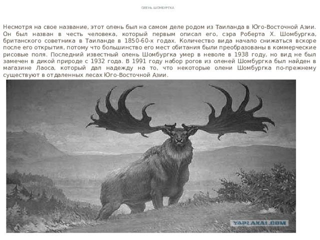 Олень Шомбургка Несмотря на свое название, этот олень был на самом деле родом из Таиланда в Юго-Восточной Азии. Он был назван в честь человека, который первым описал его, сэра Роберта Х. Шомбургка, британского советника в Таиланде в 1850-60-х годах. Количество вида начало снижаться вскоре после его открытия, потому что большинство его мест обитания были преобразованы в коммерческие рисовые поля. Последний известный олень Шомбургка умер в неволе в 1938 году, но вид не был замечен в дикой природе с 1932 года. В 1991 году набор рогов из оленей Шомбургка был найден в магазине Лаоса, который дал надежду на то, что некоторые олени Шомбургка по-прежнему существуют в отдаленных лесах Юго-Восточной Азии.
