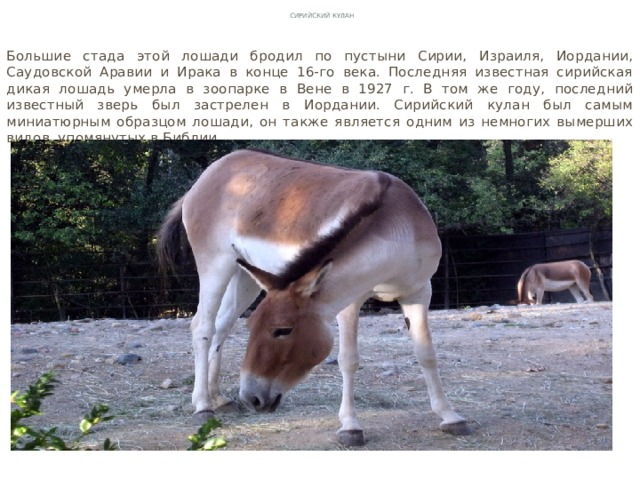 Сирийский кулан Большие стада этой лошади бродил по пустыни Сирии, Израиля, Иордании, Саудовской Аравии и Ирака в конце 16-го века. Последняя известная сирийская дикая лошадь умерла в зоопарке в Вене в 1927 г. В том же году, последний известный зверь был застрелен в Иордании. Сирийский кулан был самым миниатюрным образцом лошади, он также является одним из немногих вымерших видов, упомянутых в Библии.