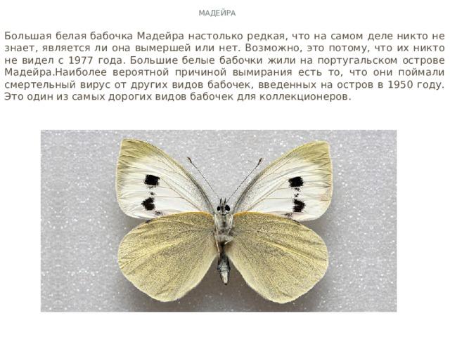 Мадейра Большая белая бабочка Мадейра настолько редкая, что на самом деле никто не знает, является ли она вымершей или нет. Возможно, это потому, что их никто не видел с 1977 года. Большие белые бабочки жили на португальском острове Мадейра.Наиболее вероятной причиной вымирания есть то, что они поймали смертельный вирус от других видов бабочек, введенных на остров в 1950 году. Это один из самых дорогих видов бабочек для коллекционеров.