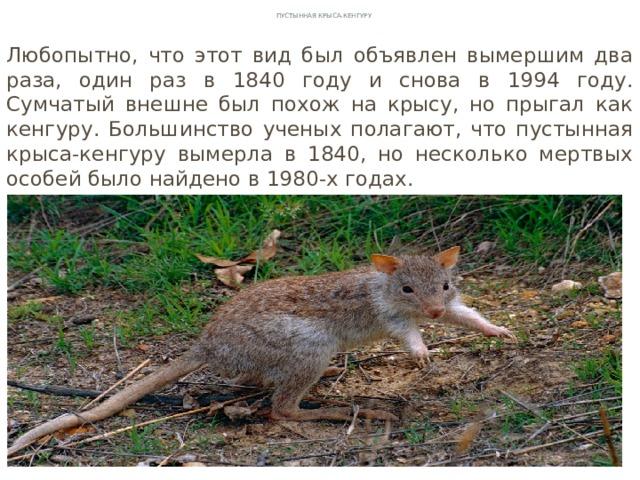 Пустынная Крыса-кенгуру Любопытно, что этот вид был объявлен вымершим два раза, один раз в 1840 году и снова в 1994 году. Сумчатый внешне был похож на крысу, но прыгал как кенгуру. Большинство ученых полагают, что пустынная крыса-кенгуру вымерла в 1840, но несколько мертвых особей было найдено в 1980-х годах.