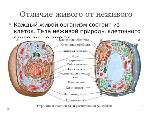 Отличие живого от неживого Каждый живой организм состоит из клеток. Тела неживой природы клеточного строения не имеют.