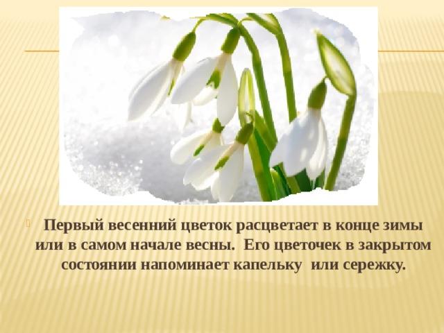 Первый весенний цветок расцветает в конце зимы или в самом начале весны. Его цветочек в закрытом состоянии напоминает капельку или сережку.