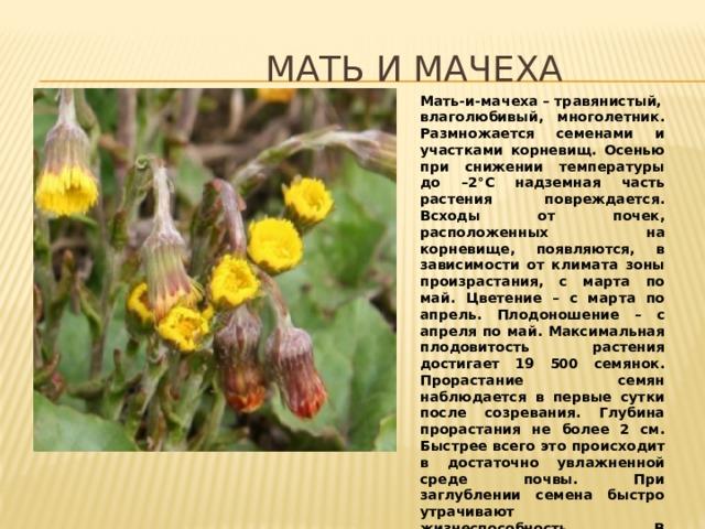 МАТЬ И МАЧЕХА Мать-и-мачеха–травянистый, влаголюбивый, многолетник. Размножается семенами и участками корневищ. Осенью при снижении температуры до –2°C надземная часть растения повреждается. Всходы от почек, расположенных на корневище, появляются, в зависимости от климата зоны произрастания, с марта по май. Цветение – с марта по апрель. Плодоношение – с апреля по май. Максимальная плодовитость растения достигает 19 500 семянок. Прорастание семян наблюдается в первые сутки после созревания. Глубина прорастания не более 2 см. Быстрее всего это происходит в достаточно увлажненной среде почвы. При заглублении семена быстро утрачивают жизнеспособность. В искусственной среде могут сохраняться до трех л ет.