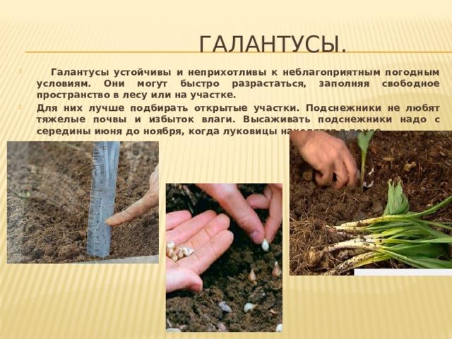 Галантусы.  Галантусы устойчивы и неприхотливы к неблагоприятным погодным условиям. Они могут быстро разрастаться, заполняя свободное пространство в лесу или на участке. Для них лучше подбирать открытые участки. Подснежники не любят тяжелые почвы и избыток влаги. Высаживать подснежники надо с середины июня до ноября, когда луковицы находятся в покое.