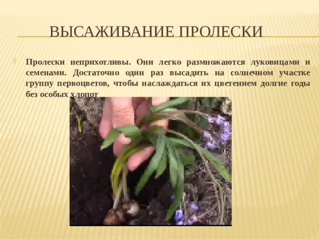Высаживание пролески Пролески неприхотливы. Они легко размножаются луковицами и семенами. Достаточно один раз высадить на солнечном участке группу первоцветов, чтобы наслаждаться их цветением долгие годы без особых хлопот